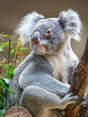 Koala bear sitting on a branch Royalty Free Stock Photos
