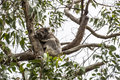 Koala bear sitting in a eucalytus tree in southern australia near the great ocean road not in a zoo Stock Photos