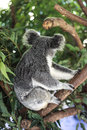 Koala bear sitting on gumtree branch and looking away from the camera Stock Photo