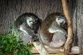 Koala bear is sleeping on the tree Royalty Free Stock Image