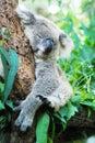 Koala a bear sleeping on the tree Stock Photo