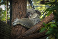 Koala bear sleeping in a tree chiangmai zoo thailand Stock Photos