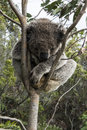 Koala bear sleeping in tree closeup of a sitting a eucalytus southern australia near the great ocean road not a zoo Royalty Free Stock Photos