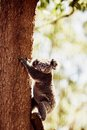 Koala bear on a tree relaxing australian eucalyptus Stock Images