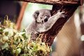 Koala bear on a tree relaxing australian eucalyptus Stock Image