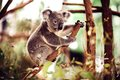 Koala bear on a tree relaxing australian eucalyptus Royalty Free Stock Images