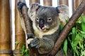Koala bear in the zoo Royalty Free Stock Photo