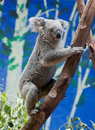 Koala Climbing A Tree Stock Photos