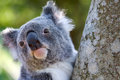 Koala close up in tree photo of head bright eyes clean space Stock Photo