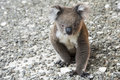 Koala, Kangaroo Island, Australia Royalty Free Stock Photo