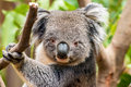 Koala closeup picture of a Royalty Free Stock Image