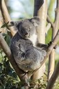 Koala a cute adorable adult bear sitting on a tree grasping a branch with its claws the phascolarctos cinereus is an arboreal Stock Photography