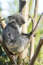 Koala a cute adorable adult bear sitting on a tree grasping a branch with its claws the phascolarctos cinereus is an arboreal Royalty Free Stock Photos