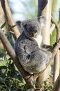 Koala a cute adorable adult bear sitting on a tree grasping a branch with its claws the phascolarctos cinereus is an arboreal Stock Photo