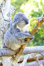 Koala a cute adorable adult bear sitting on a tree grasping a branch with its claws the phascolarctos cinereus is an arboreal Stock Photos