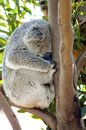 Koala a cute adorable adult bear sleeping while sitting on a branch and resting its head on a tree the phascolarctos cinereus is Stock Images
