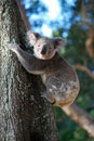 Koala cute climbing a tree in a natural setting australia Royalty Free Stock Photography
