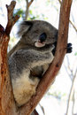 Koala do sono Foto de Stock