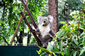 Koala eating Royalty Free Stock Photography