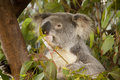 Koala eating leaves in tree Stock Photos