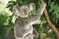 Koala in a eucalyptus tree. Royalty Free Stock Photo