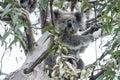 Koala in eucalyptus tree Royalty Free Stock Photo