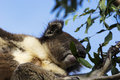 Koala on the Eucalyptus tree Royalty Free Stock Photo