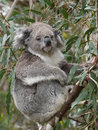 Koala in an eucalyptus tree phascolarctos cinereus australia Royalty Free Stock Image