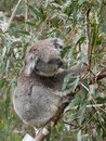 Koala in an eucalyptus tree phascolarctos cinereus australia Stock Images