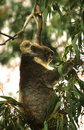 Koala Feeding on Eucalyptus Leaves Stock Photos