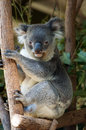 Koala full body portrait of cute photogenic sitting on a gum tree and looking straight at the camera Royalty Free Stock Image