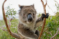 Koala in a gum tree Australia Royalty Free Stock Photo