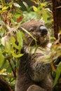 Koala in a gum tree eating fresh green leaves Royalty Free Stock Photo