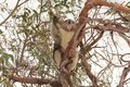 Koala on gum tree, Raymond Island, Gippsland Lakes Royalty Free Stock Photo