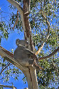 Koala in a gum tree Royalty Free Stock Photo