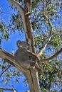 Koala in a gum tree Royalty Free Stock Photo