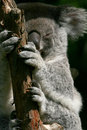 Koala hands and feets Stock Photos