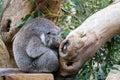 Koala having a nap Royalty Free Stock Photo