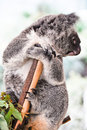 Koala having a rest Stock Images