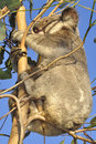 Koala with joey Royalty Free Stock Photo