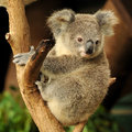 Koala joey is sitting on a branch Royalty Free Stock Photo