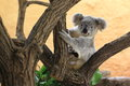 Koala juvenile the of sitting on the tree Royalty Free Stock Photos