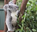 Koala at Lone Pine Koala Sanctuary in Brisbane, Australia Royalty Free Stock Photo
