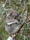 Koala phascolarctos cinereus in an eucalyptus tree in australia Royalty Free Stock Photo