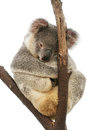 Koala portrait of cute photogenic sitting on a gum tree branch isolated on white Royalty Free Stock Image