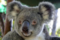 Koala portrait of a in queensland australia Stock Photography