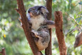 Koala relaxing in a tree, Australia. Close-up. Royalty Free Stock Photo