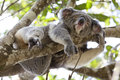 Koala relaxing in a tree, Australia Royalty Free Stock Photo
