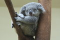 Koala resting and sleeping on his tree with an happy smile face Royalty Free Stock Photos