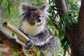 Koala sit on an eucalyptus tree Royalty Free Stock Photo